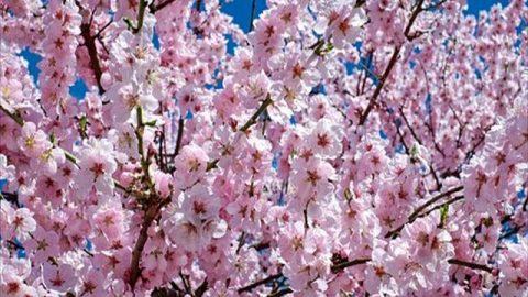五反田桜祭り2018 ~五反田バレーに咲くサクラ~